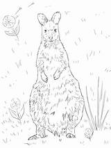 Wallaby Coloring Necked Pages Printable Supercoloring Super Categories sketch template