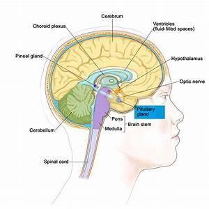 Pituitary Gland Function  Disorders  U0026 Pituitary Gland Tumors