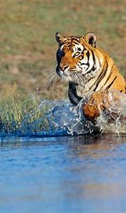 bengal tiger - Animal Stock Photos - Kimballstock