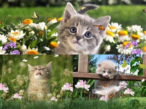 Animated Kitten Wallpaper - kittens screensavers wallpaper wallpapersafari