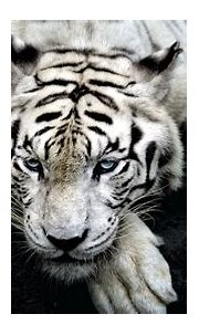 3840x2160 tiger 4k new hd pc wallpaper