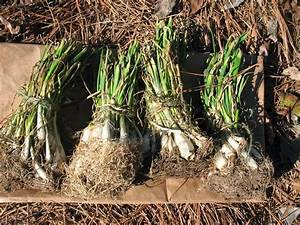 Sensible Survival  Caring For Onion Sets Prior To Planting