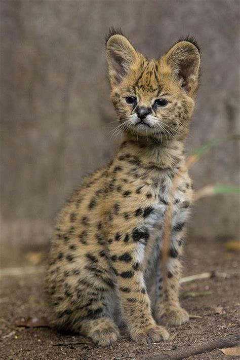 61 Best Images About Serval Cats On Pinterest