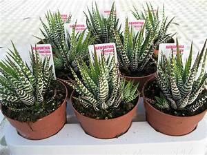 Comment Entretenir Un Cactus : cactus serrano cactus y suculentas cactaceas pinterest ~ Nature-et-papiers.com Idées de Décoration