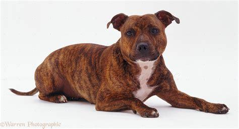 Dog Staffordshire Bull Terrier P O Wp