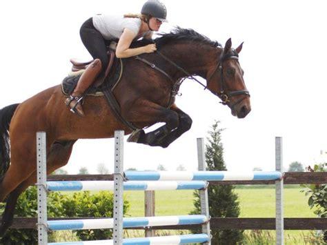 jumping horses warmblood horse courvoisier bay sporthorses dutch peter star 2hh