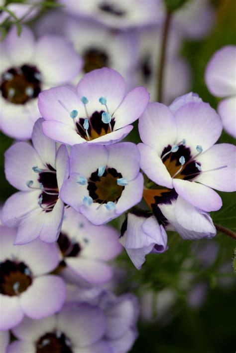gilia tricolor birds eyes buy   annies annuals