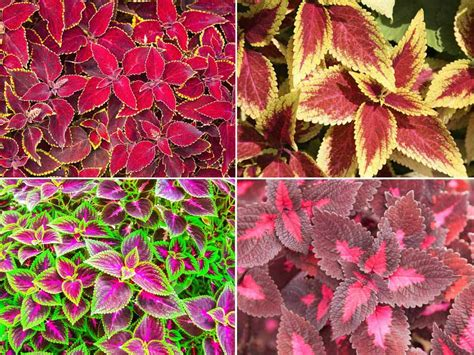 what is a coleus plant how to grow the colorful coleus plant indoors and out