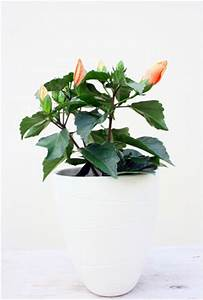 Rosen Im Topf überwintern : hibiskus hibiscus pflege schneiden und berwintern ~ Orissabook.com Haus und Dekorationen