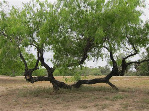 mesquite tree explore