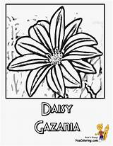 Coloring Daisy Flower Flowers Sheets Daisies Colouring Yescoloring Ten sketch template