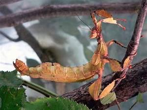 Spiny Leaf Insect  Extatosoma Tiaratum