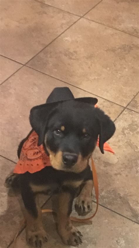 care   rottweiler puppy  steps  pictures