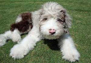 Australian Shepherd / Poodle | Puppies | Pinterest ...