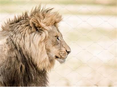 Lion Side Blanc Noir African South Head