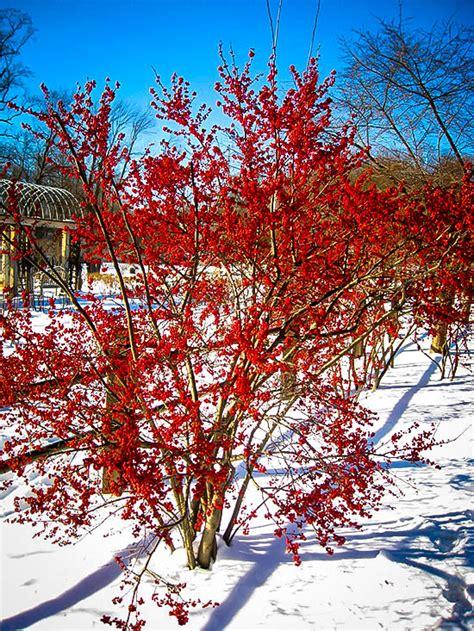 winterberry holly shrubs  sale  tree center