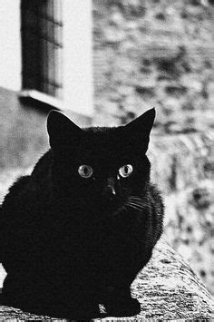black cat society images   cutest animals