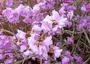 Rhododendron Blüht Nicht : rhododendron dauricum ein echter winterbl her ~ Frokenaadalensverden.com Haus und Dekorationen