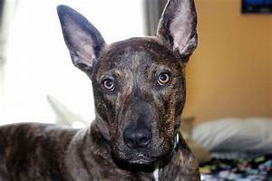 German Shepherd Pitbull Mix | Shop for your Cause