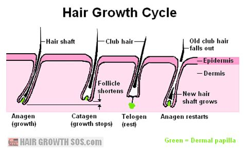 Hair Growth Cycle - All Phases of the Hair Cycle Fully