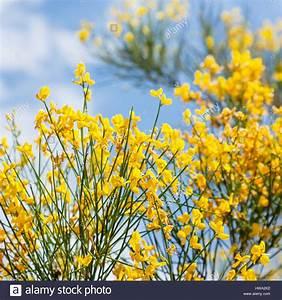 Busch Mit Gelben Blüten : reisen nach italien gelben bl ten der cytisus busch hautnah auf mount etna in sizilien ~ Frokenaadalensverden.com Haus und Dekorationen