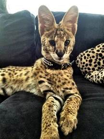 cats as pets what is a serval cats pet of the day serval