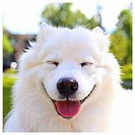 Samoyed Smiling Dog