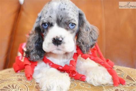 video meet brittany  cute cocker spaniel puppy  sale