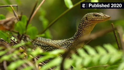 These Large Carnivorous Lizards Are Right Where They ...