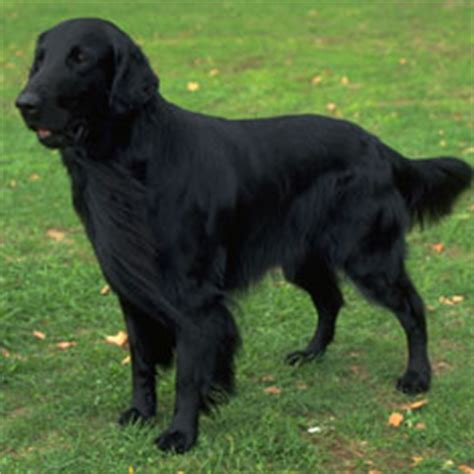 Does Flat Coated Retriever Shed by Flat Coated Retriever Puppies For Sale Akc Puppy Finder