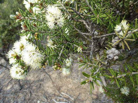 melaleuca pauperiflora wikispecies