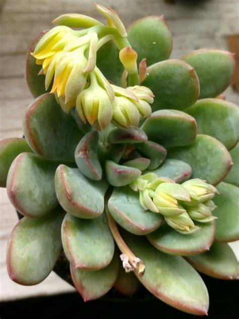 Echeveria 'Cimette' | World of Succulents
