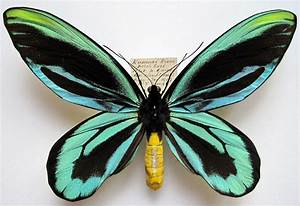 Trivia | butterflies101