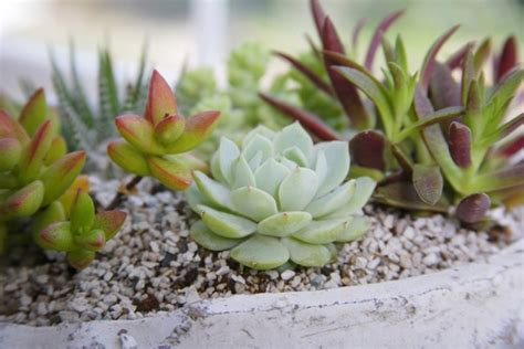 how to reproduce succulents diy grow succulents from cuttings 1 million women