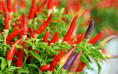 grow chillies chilli plants growing kitchen own vegetable plant windowsill vegetables easy garden daviddomoney crops instructions domoney containers pots