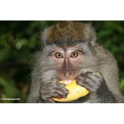 Crab-eating macaque consuming a banana (Ubud Bali)