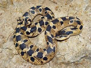 Eastern Hognose Snake Facts and Pictures   Reptile Fact