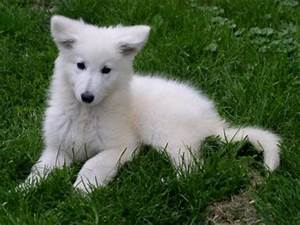 Bébé Loup Blanc : bebe loup blanc blog de perleamoureuse ~ Farleysfitness.com Idées de Décoration