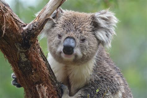 koala   home teacher