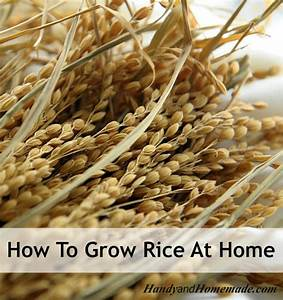 How To Grow Rice At Home From Seed