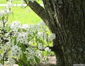Birch-Leaved Pear Tree - Pyrus betulaefolia
