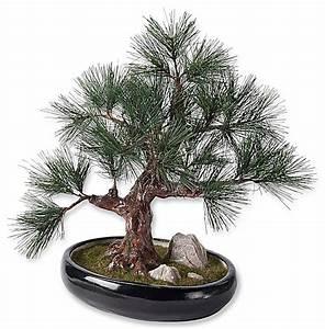 Baum Im Topf : bonsai topf szechuanpfeffer bonsai 15 cm topf online ~ Michelbontemps.com Haus und Dekorationen