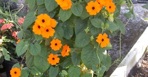 Thunbergia 'orange Beauty' Is A Climbing Vine That Can Do