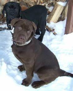 Bullador, English Bulldog Labrador Retriever Hybrid Dogs ...