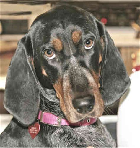 Do Black And Coonhounds Shed by Black And Coonhound Puppies Breeders Coonhounds