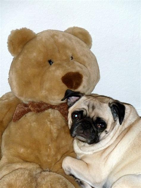 beefy pug  bear   giant     atm card
