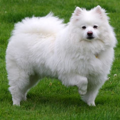 american eskimo spitz shedding 59 best small breeds that stay small forever