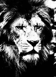 High-contrast black and white image of a lion ...