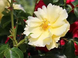 Bodendecker Gelb Blühend : bodendecker rose 39 limesgold 39 rosa 39 limesgold 39 baumschule horstmann ~ Frokenaadalensverden.com Haus und Dekorationen