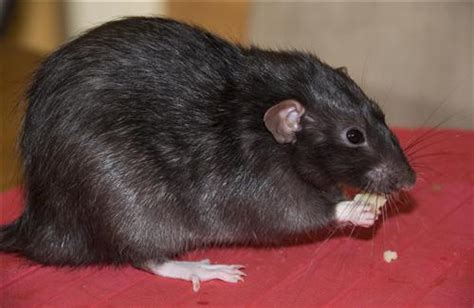 hd black rat pics hd wallpapers